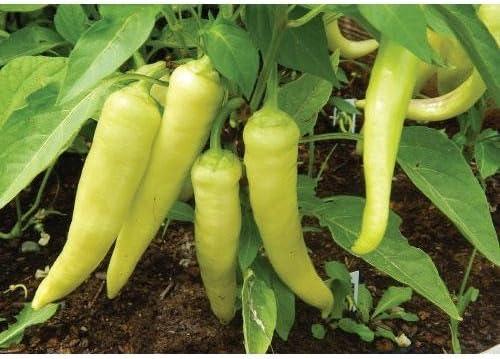 25 Premium Organic Heirloom Sweet Banana Pepper Seeds-D 39