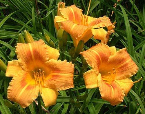 3 Orange Frost Daylily Plants//Hemerocallis Rebloomer SUMMER SPECIAL