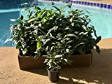 Camellia Sinensis 4'' Pot Beautiful Live Tea Plant Black White Green & Oolong