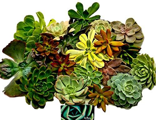 Fat Plants San Diego Twenty Gorgeous Large Rosette Succulents by Fat Plants San Diego (Image #1)