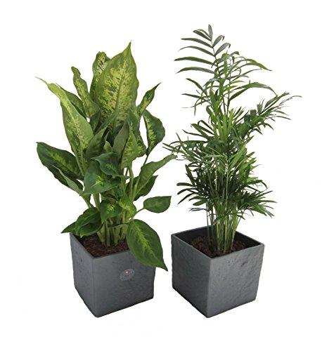 Amazon.de Pflanzenservice Pflanzen Frischluft Duo, Kaffee Pflanze mit Zimmerpalme im Scheurich Würfelumtopf anthrazit, 2 Stück, mehrfarbig