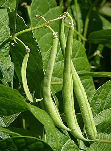 (82 Seeds of Phaseolus vulgaris, Provider Bush Snap Bean, 28 g)