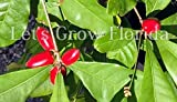 "Miracle Fruit 1 Gal / 6""Pot 1'+ Tall Berry Tree Synsepalum dulcificum Live Plant"