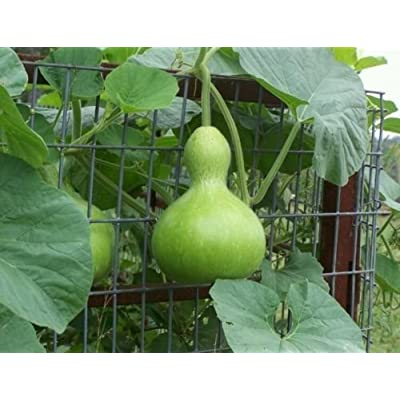 1 packet (50 seeds) - Birdhouse Gourd - Bau Ho Lo - Seeds : Garden & Outdoor