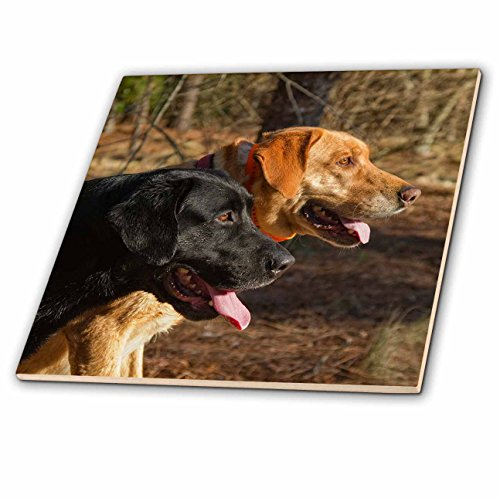 3dRose Susan Kjellsen Photography - Dogs - One black and one yellow Labrador retriever - 6 Inch Ceramic Tile (ct_280230_2)