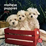 Maltese Puppies 2013 7X7 Mini Wall