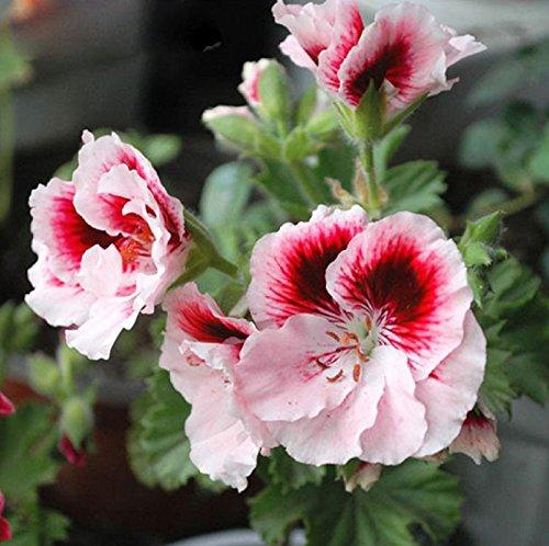 Hot Sale Rare Two-color Red White Univalve Geranium Seeds Perennial Flower Seeds Pelargonium Peltatum Seeds Indoor Rooms 30PCS