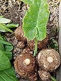 3 Bulbs Colocasia esculenta , Green Taro, cocoyam, taro, Elephant Ears Bulbs Taro