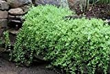 SEDUM SARMENTOSUM, Creeping Sedum, (2) 2 year, Waterfall Plant, Live Plants, Hardy Live Perennial Flower, Plants, Rock Garden, Groundcover, Waterfall Plant