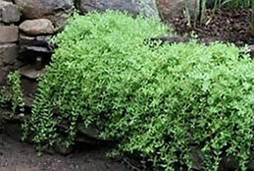 SEDUM SARMENTOSUM, Creeping Sedum, (2) 2 year, Waterfall Plant, Live Plants, Hardy Live Perennial Flower, Plants, Rock Garden, Groundcover, Waterfall Plant by Organic Heirloom Plants