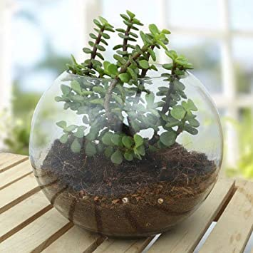Shaikshavali Jade Plant Live With Glass Pot Terrarium Amazon In