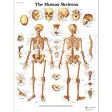 3B Scientific VR1113L Glossy Laminated Paper Human Skeleton Anatomical Chart, Poster Size 20-Inch Widthx26-Inch Height