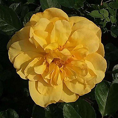 Tupelo Honey Rose Bush Reblooming Sunbelt Rose - Double Yellow Flowers - Heat Resistant Own Root Grown Organic Potted - Stargazer ()