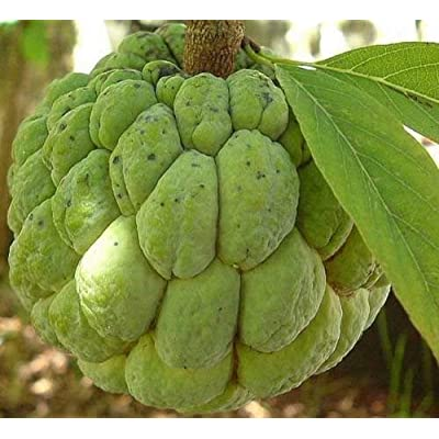 Annona Squamosa - Sugar Apple - Rare Tropical Plant Tree Seeds (20) : Garden & Outdoor