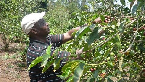 5LBS Kenya Giakanja Unroasted Green Coffee Beans