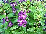 "ANGELONIA - SERENITA - PURPLE - 4 LIVE PLANTS - 3"" POTS"