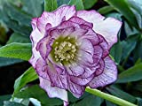 50+ WINTER BLOOMING VIOLET HELLEBORUS SEEDS ,