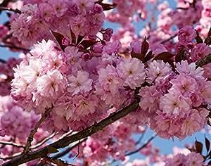 "1 Starter Plant of Kwanzan Cherry Tree in 5"" Quart Pot"