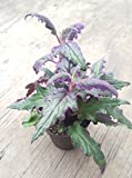 Purple Passion , Gynura ,EXOTIC PLANT, SHIPS IN A POT HOUSEPLANT