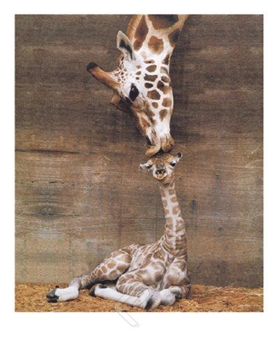 Giraffe, Mother Love, First Kiss by Ron D'Raine. Photo Print