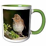 3dRose 94423_7 Texas, South Padre Island. Swainsons Thrush Bird Ceramic Mug, Green/White