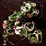 HOYA 'VARIEGATED HINDU ROPE' (HOYA CARNOSA 'CRISPA VARIEGATED') 2 PLANT COMBO