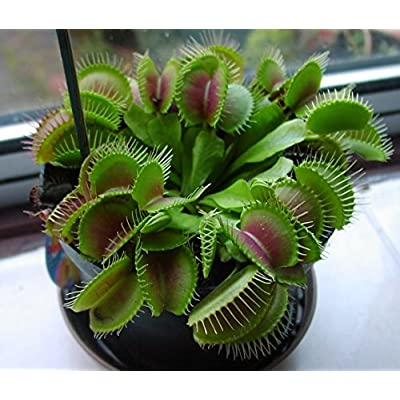 20 Seeds Potted Venus Flytrap Plant Seeds Dionaea Muscipula Giant Clip Seeds Easy to Grow Carnivorous Plant : Garden & Outdoor