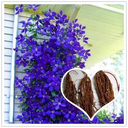 True Purple Clematis Flower Bulbs, not Seeds, Beautiful Flowers - 2 Bulbs (Best Dark Purple Clematis)