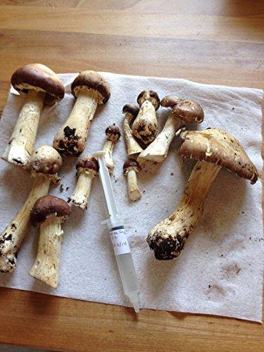 wine cap mushroom - 7