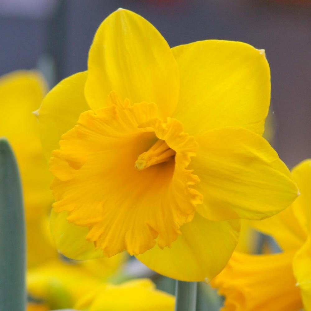 50 Large Dutch Master Trumpet Daffodil Narcissus 5'' large bulbs Blooms Mid Spring - Dear Wont Eat - Similar to Unsurpassable by Trumpet Daffodil Similar to Unsurpassable