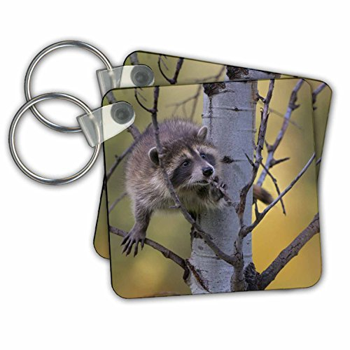 Danita Delimont - Racoons - Baby raccoon, Procyon lotor, eating a branch, Montana, USA - Key Chains - set of 4 Key Chains - Racoon Image