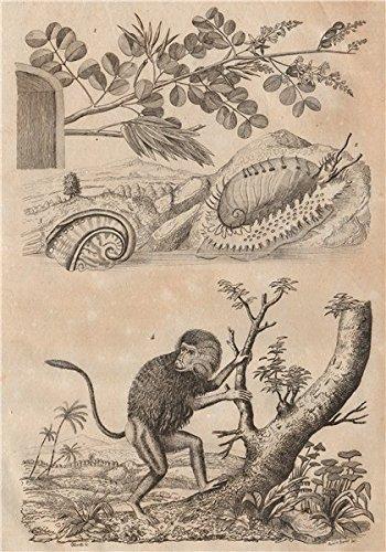 (Haematoxylum campechianum (logwood) Haliotididae (abalone) Hamadryas baboon - 1834 - old print - antique print - vintage print - Molluscs art)