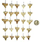 25 Wire Wrapped Fossilized Shark Teeth for Necklace