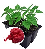 Carolina Reaper Pepper - 4 Live Plants - World's Hottest Pepper -Fear the Reaper