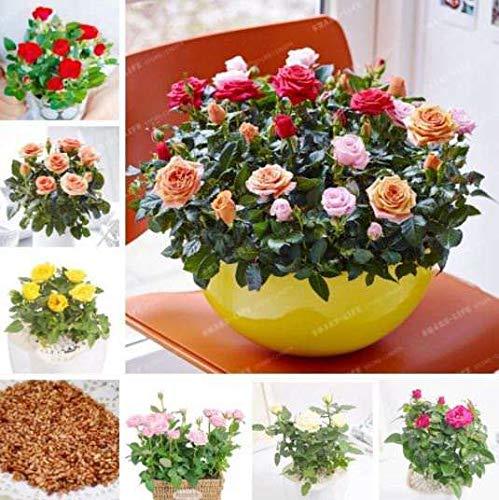 Mix Miniature Rose Flowers 100 pcs Mini Rose Seeds Potted Balcony Bonsai Plant ()