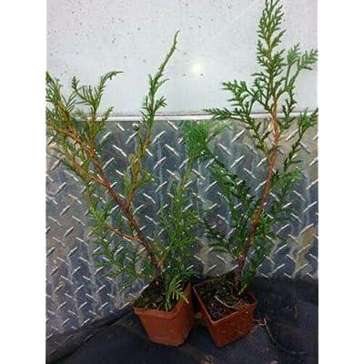 10 Murray Cypress Evergreen : Garden & Outdoor