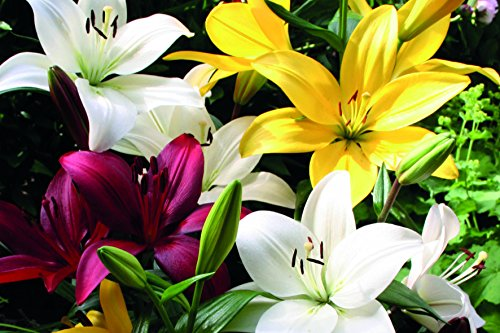 Lily Flower Bulbs for Spring Planting (8 pack) Large Asiatic Dutch Forcing Bulk Perennial Lilium Lilies from Holland