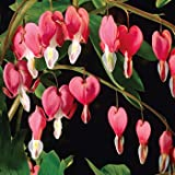 10 BLEEDING HEART - PINK OLD FASHIONED Dicentra Spectibilis Flower SeedsCombSH