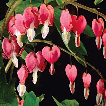 10 BLEEDING HEART - PINK OLD FASHIONED Dicentra Spectibilis Flower SeedsCombSH ()