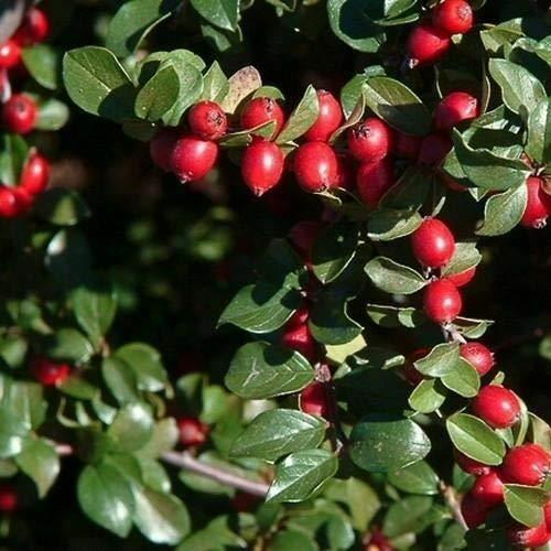 Cutdek Spreading Cotoneaster Bush Seeds (Cotoneaster divaricatus) 50+Seeds by Cutdek