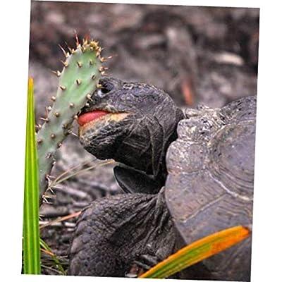 GVII 6 Spineless Cactus Food Pads - RK178 : Garden & Outdoor