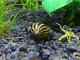5 Zebra Nerite Snails (Neritina natalensis - 1/2 to 1 inch in Diameter) - Live Snails by Aquatic Arts