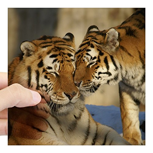 - Square Sticker Clear 5 x 5 Inch Nuzzling Tiger Love
