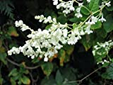 Silver Lace Vine Plant - Polygonum aubertii - 2.5 Pot by Hirts: Vines & Groundcovers