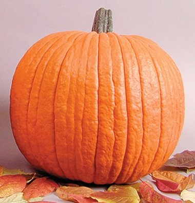 David's Garden Seeds Pumpkin Howden D2446 (Orange) 25 Organic Seeds
