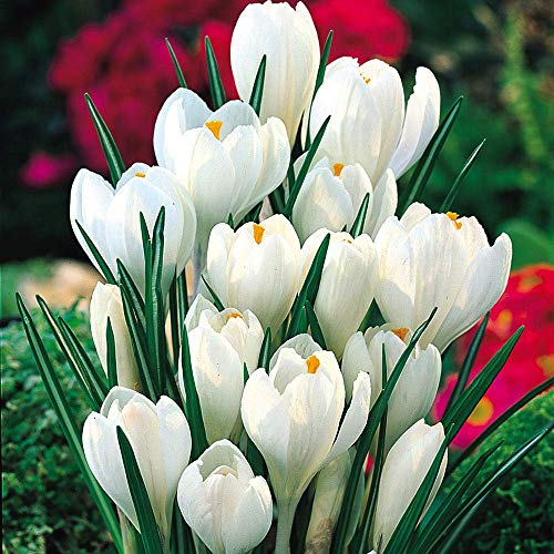 15 White Beautiful Crocus Bulbs,Flowering Perenials,Crocus, Bulbs, Great Spectacular Flower Heads ()