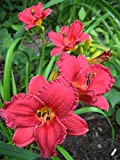 Cranberry Baby Daylily: 10 Bareroot Hemerocallis 1-2 Fans Tennessee Grown