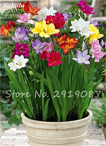 20 Pcs Freesias Seeds Colorful Fragrant Flower Plant Gorgeous Seeds Charming Flower Plant Seeds Plant For Garden 6