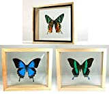 3 Double Side Glass Frame Real Beautiful Butterfly Display Insect Taxidermy Home Decor #01