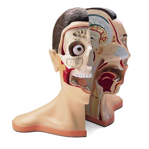 Denoyer Geppert 0176-00 Vinyl Five Part Head and Neck Model with Musculature, 15″ Length x 10″ Width x 14″ Height